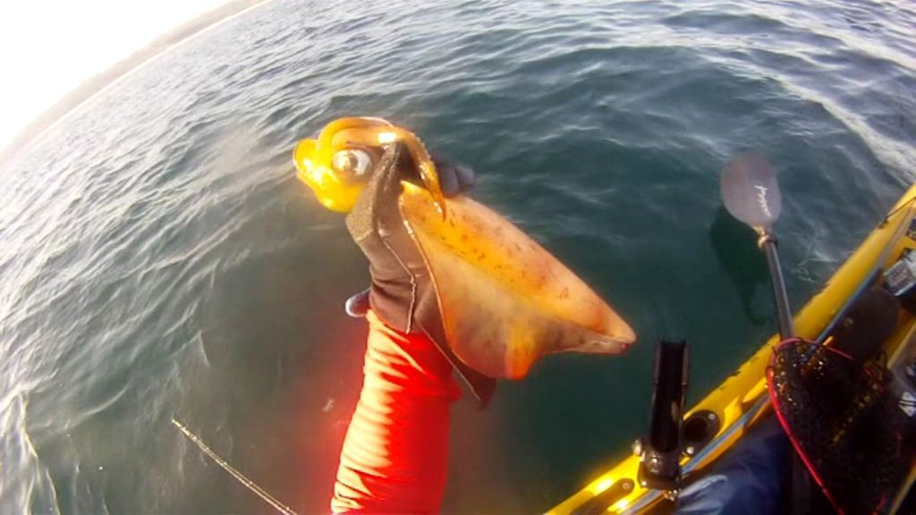 squid caught from kayak while fishing for snapper