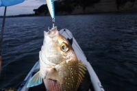 Kayak fishing, trolling hard body lures for snapper in the shallows